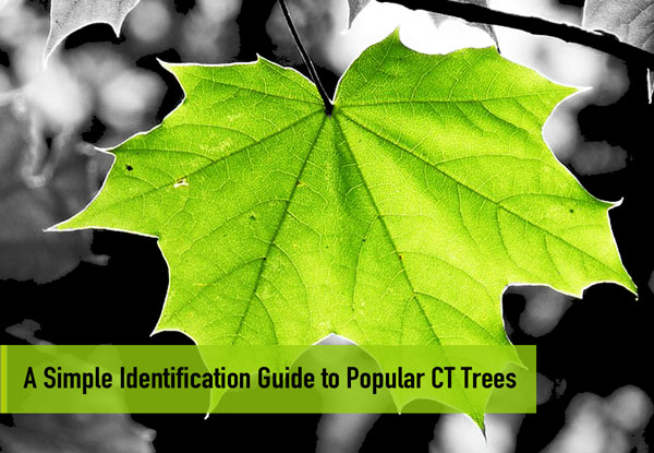 A Simple Identification Guide to Popular CT Trees